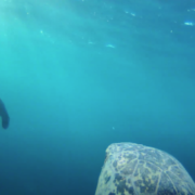 Green sea turtle encounters with another Individual.png
